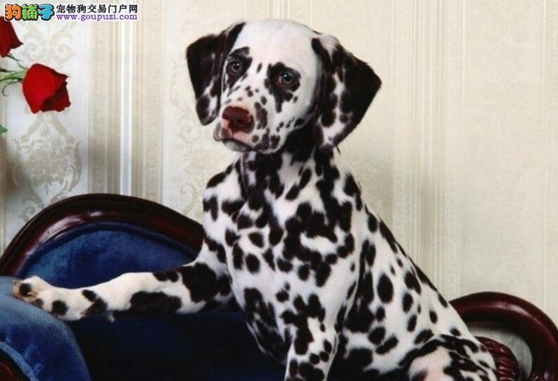 斑点狗惹人爱,达人和大家分享选择优秀狗狗的方法