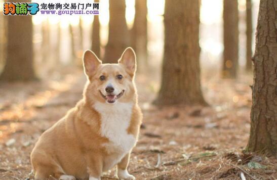 如何挑选一只纯种的柯基犬,纯种的柯基有哪些特点?