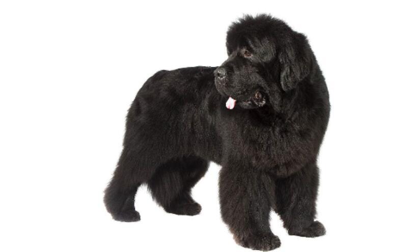 纽芬兰犬挑选的方法很简单,掌握六个特征就能搞定