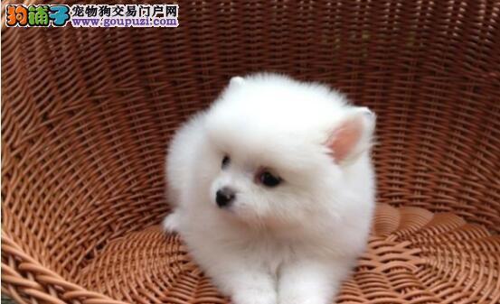 以下几个小技巧,可以帮助你挑到一只优秀的博美幼犬