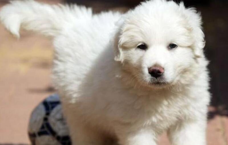购买大白熊犬不可随意,要做足功课,老手给你来支招