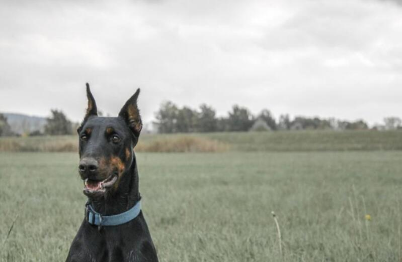 准备养杜宾犬的朋友注意了,挑选的时候要注意这几点