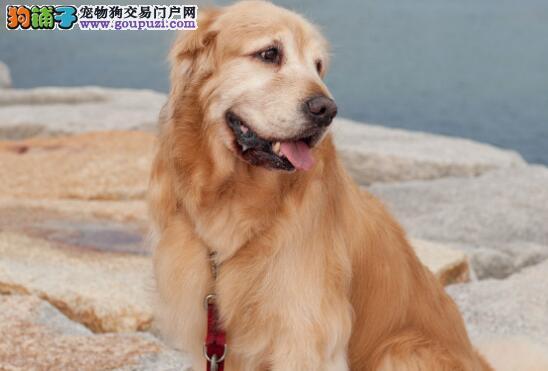 妈妈反对养金毛,抱回家后,对狗比自己的女儿还好