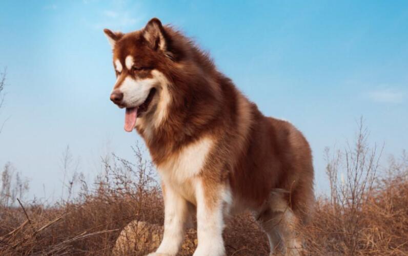 男子将阿拉斯加犬寄养在宠物店,却不料狗狗出了意外