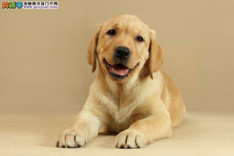 金毛遇上心机主人,用狗粮测试它的智商,还好没被难住