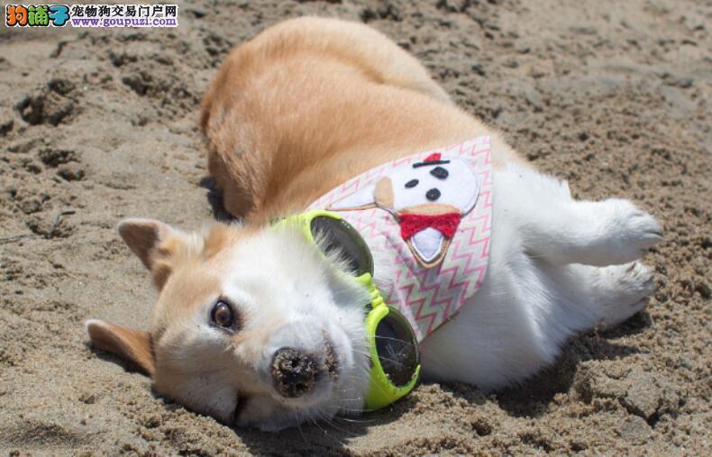 网友饲养了一只柯基犬被房东发现,不让其饲养