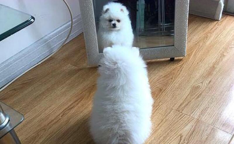 博美犬重视自己的颜值,主人照顾的很贴心