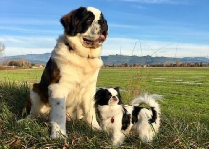 圣伯纳犬让蝴蝶犬坐背上玩,两只狗狗特别的好玩