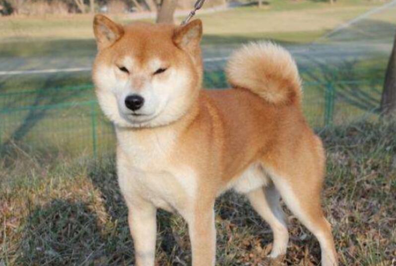 这条柴犬真感人,主人车祸去世两个月,它一直不肯走