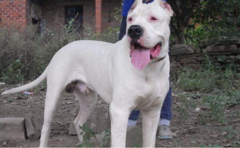 杜高犬一下子生了十八只奶狗,主人真的是又哭又笑