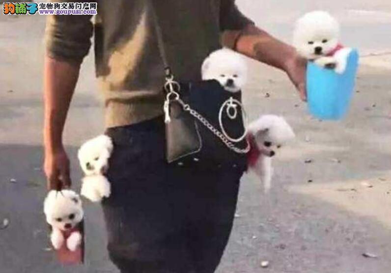 网友养了五只茶杯犬,每天都是各种有趣的事情