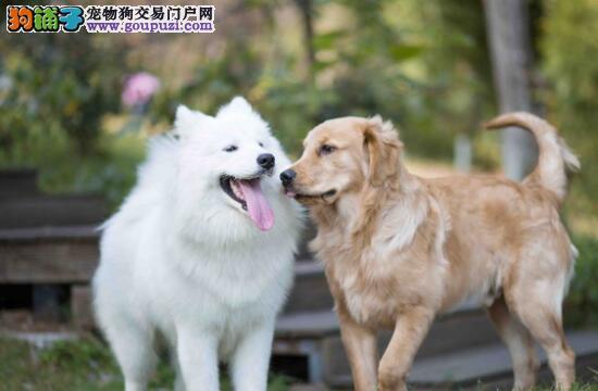 金毛和萨摩耶在一起玩耍,发生的事情让人大笑不止
