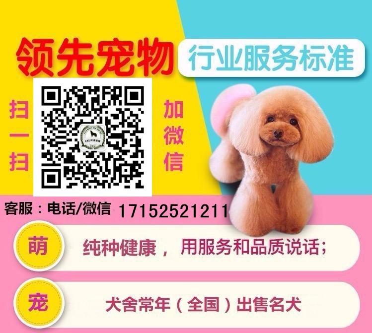 可爱纯种深圳泰迪犬出售中 纯正韩国血统保证健康5