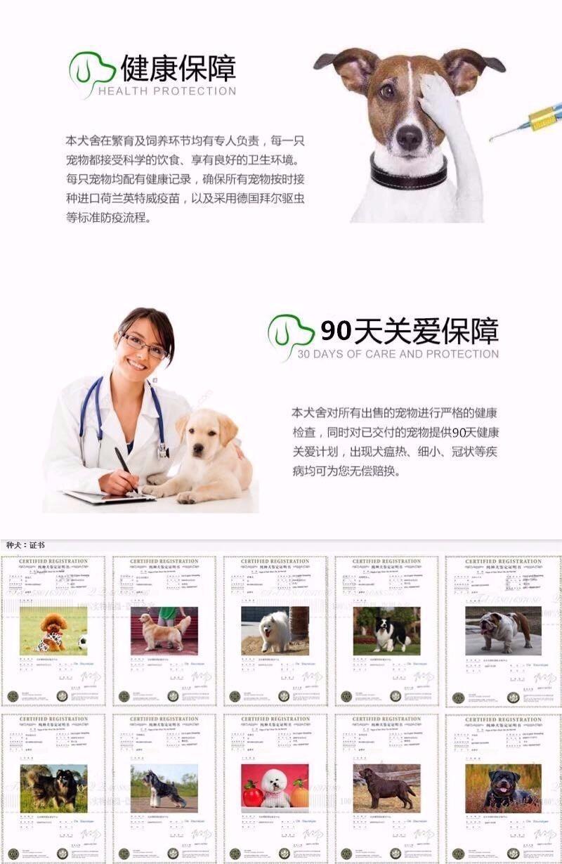 精品泰迪犬热卖中 血统认证保健康 三年联保协议7