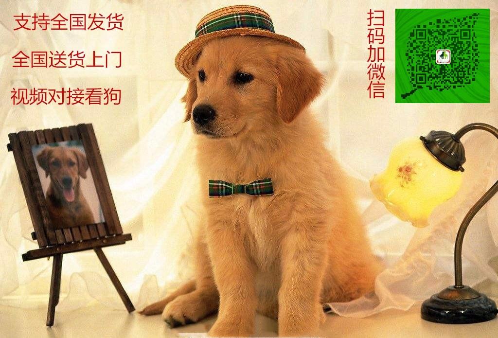 家养多只比特犬宝宝出售中微信咨询看狗5