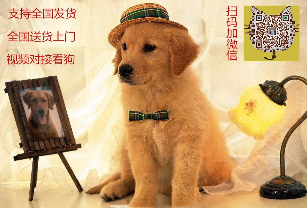桂林名牌基地直销泰迪幼犬 建议大家上门看狗选购爱犬5