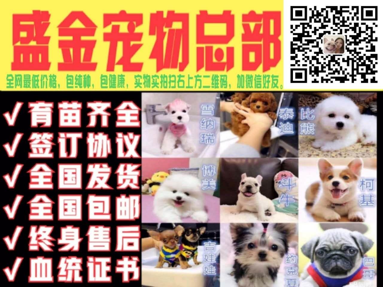 专业正规犬舍热卖优秀泰迪犬爱狗人士优先5