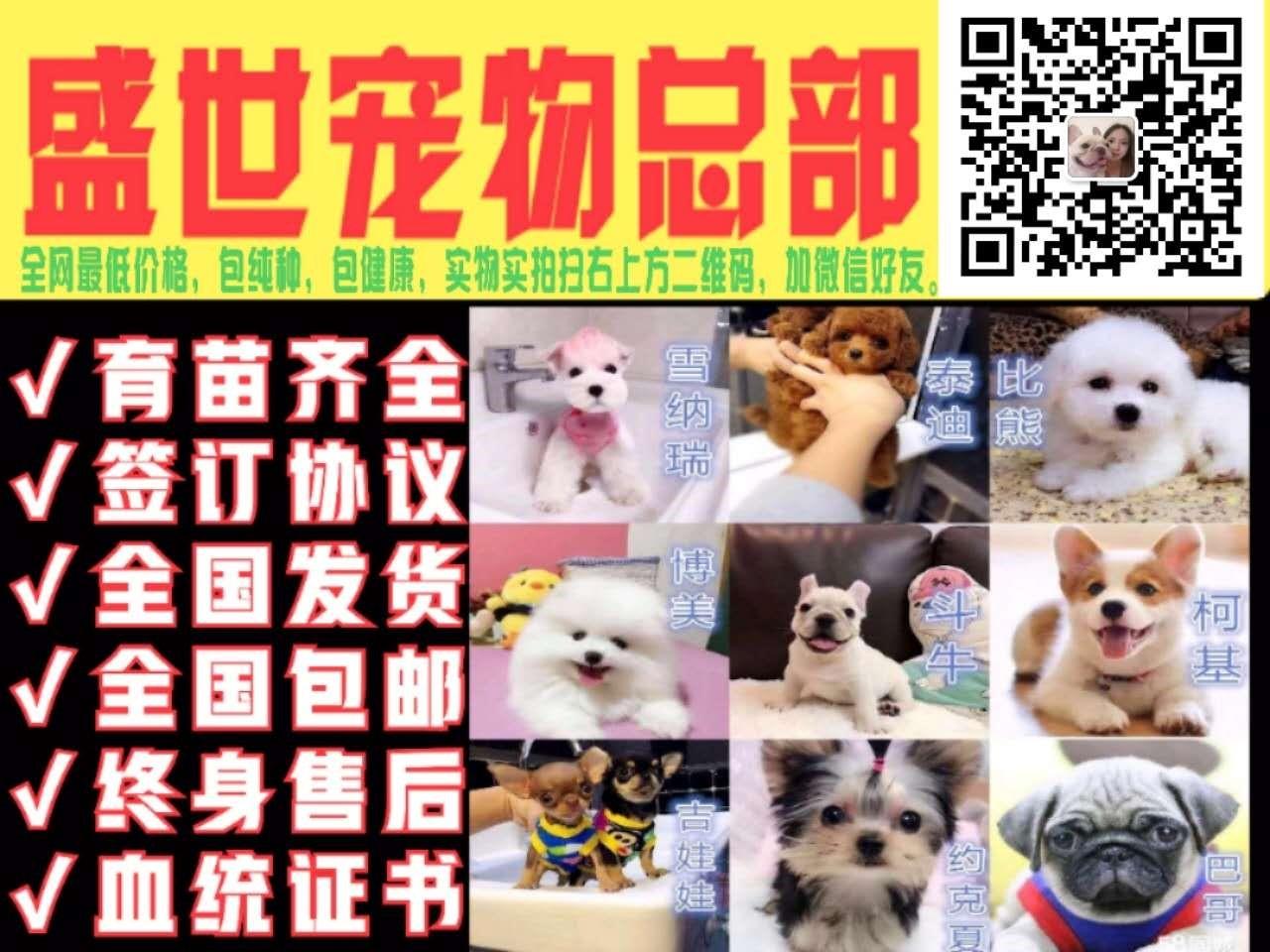威海专业狗舍促销泰迪犬苹果脸蛋小短嘴超可爱5