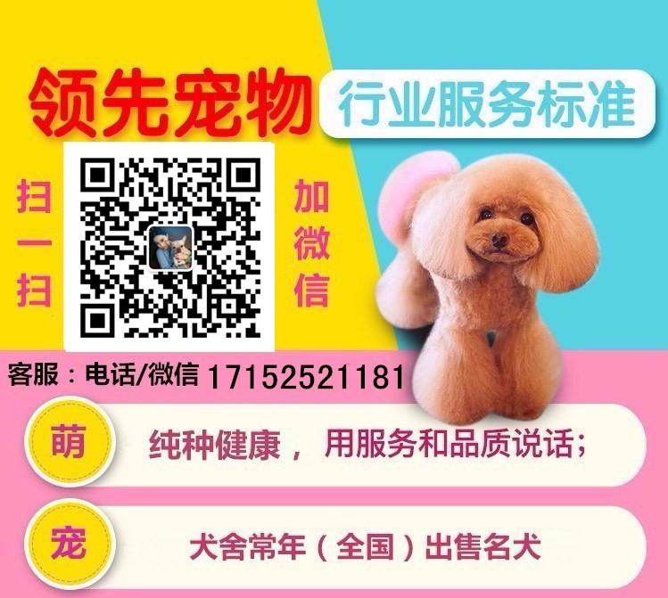 犬舍热销纯种金毛犬株州周边地区可上门选购5