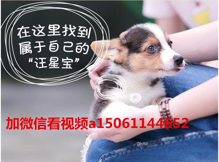 纯种美国斗牛犬幼犬、低价热销保健康、可送货上门11