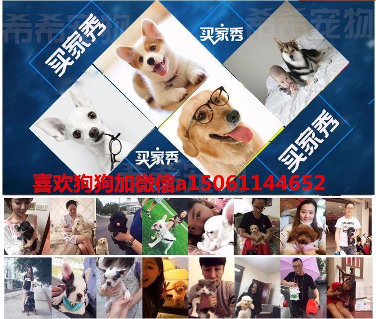 纯种美国斗牛犬幼犬、低价热销保健康、可送货上门14