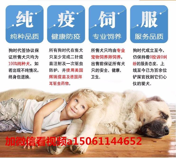 纯种美国斗牛犬幼犬、低价热销保健康、可送货上门16