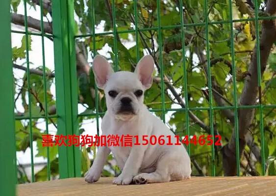 纯种美国斗牛犬幼犬、低价热销保健康、可送货上门18