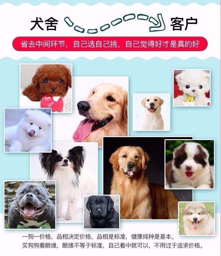 高品质昆明犬宝宝、专业繁殖包质量、三年质保协议14