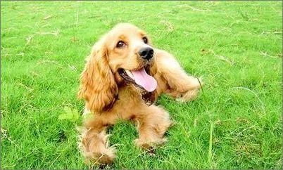 800/只 长期出售 可卡犬 纯种健康 货到付款