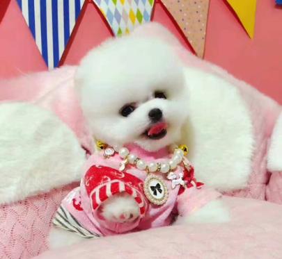 北京欧尚犬舍出售高品质哈多博美,健康,血统有保证。