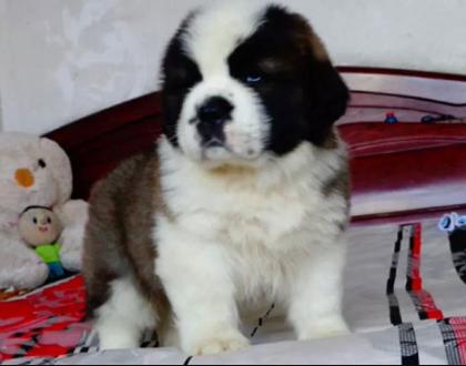 圣伯纳 售2 4月龄圣伯纳幼犬 购买签质保合同