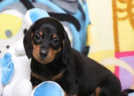 诚信出售腊肠犬 欧尚犬舍,CKU认证犬业。1