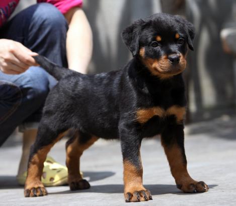 cku认证犬舍 质量三包低价出售威武金品罗威纳幼犬!3