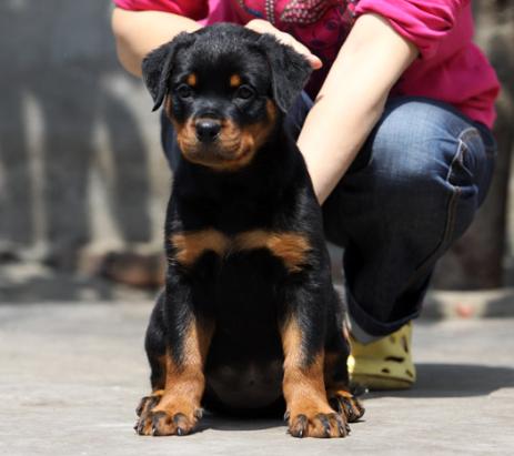 cku认证犬舍 质量三包低价出售威武金品罗威纳幼犬!