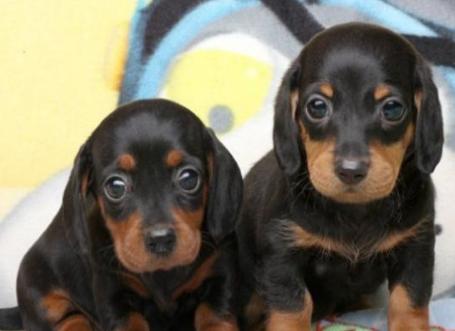 诚信出售腊肠犬 欧尚犬舍,CKU认证犬业。2
