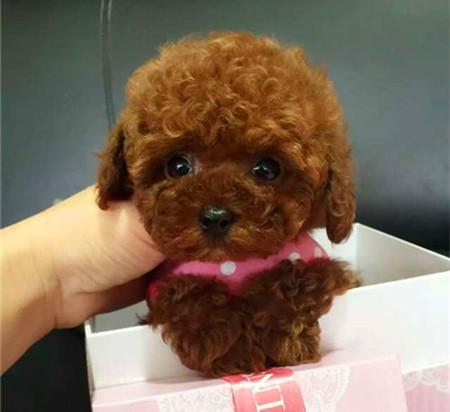 实物照片泰迪犬韩国血统颜色齐全保纯种和健康1