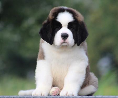 纯种犬繁殖基地出售顶级圣伯纳幼犬 品相优良签订协议