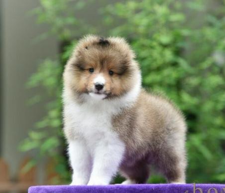 赛级喜乐蒂犬 精品喜乐蒂幼犬待售
