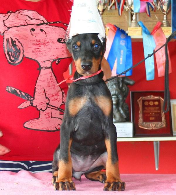 骨量足 签协议保健康 终身质保热销纯种杜宾幼犬