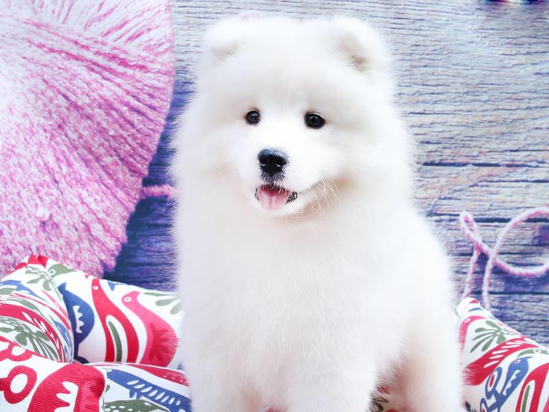 犬舍繁育高品质赛级萨摩耶犬 幼犬待售 萨摩犬2