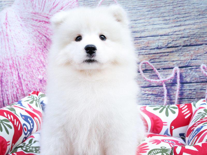 犬舍繁育高品质赛级萨摩耶犬 幼犬待售 萨摩犬1