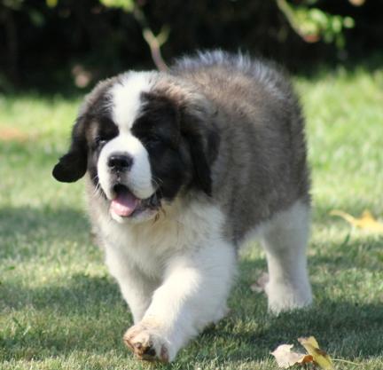 对小朋友十分宽容的狗狗 圣伯纳3