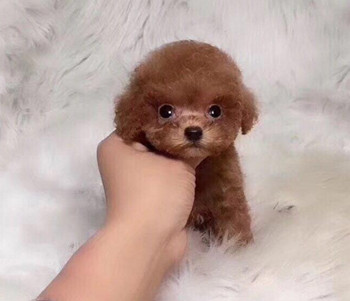 犬舍直销纯种泰迪熊幼犬,迷你体,玩具体,茶杯体。2