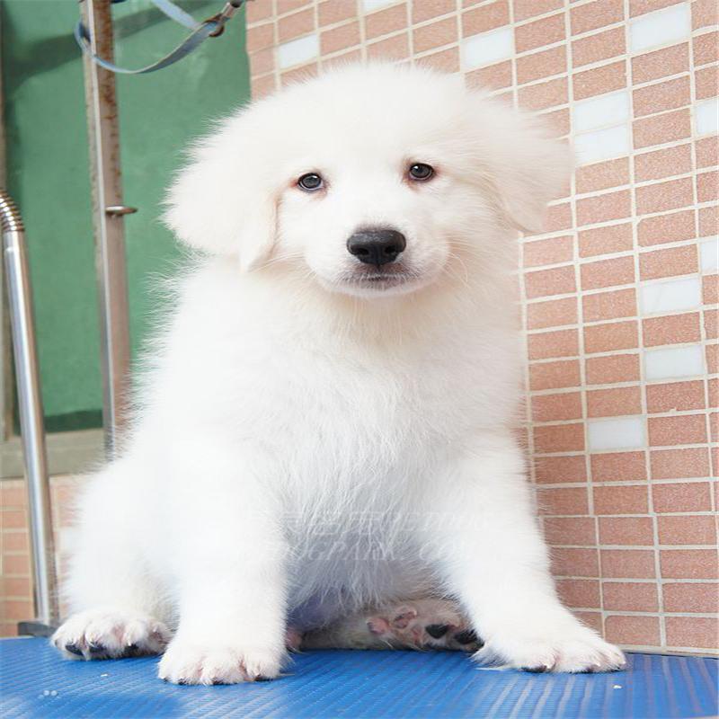 表情文雅、聪明、沉默的狗狗 大白熊