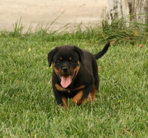 沉稳,极富感情的狗狗 罗威纳2