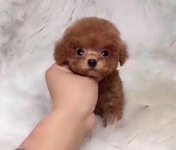 犬舍直销纯种泰迪熊幼犬,迷你体,玩具体,茶杯体。