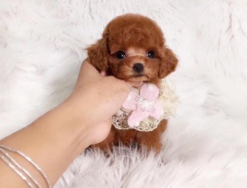 犬舍直销纯种泰迪熊幼犬,迷你体,玩具体,茶杯体。3