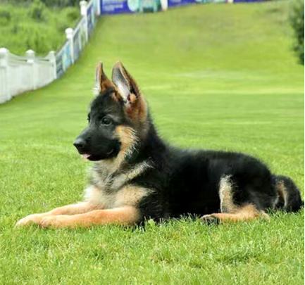 显得雄壮、或显得柔美的狗狗 德牧1