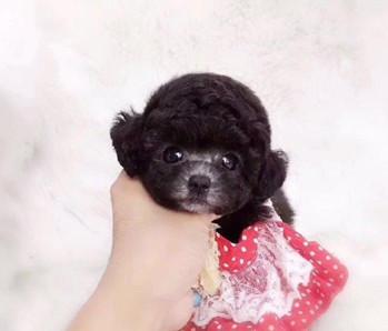 犬舍直销纯种泰迪熊幼犬,迷你体,玩具体,茶杯体。1