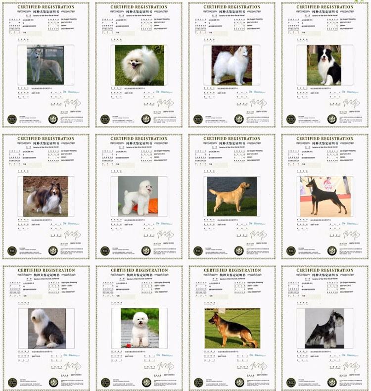 CKU认证纯种大白熊幼犬出售保健康6
